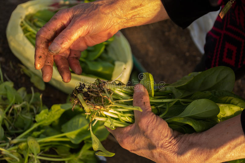 Green spinach in old woman's hands stock photo