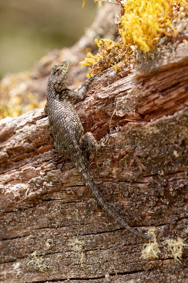 Green Spiny Lizard. (Sceloporus malachiticus) on a fallen tree royalty free stock images