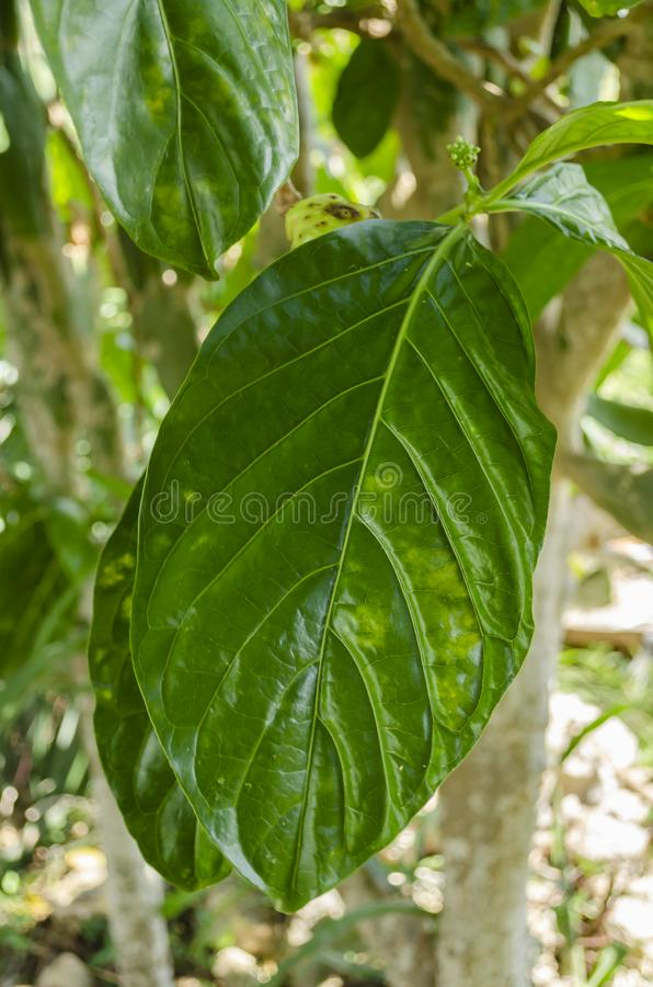 Close View Of The Leaf Of The Noni Plant. A green, spotted leaf of the noni tree having several veins running angular and parallel to each other from the stock photo