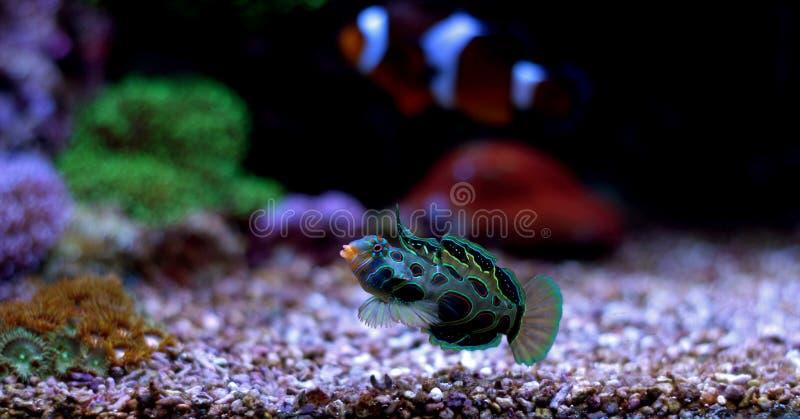 Green Spotted Mandarin Fish royalty free stock photography