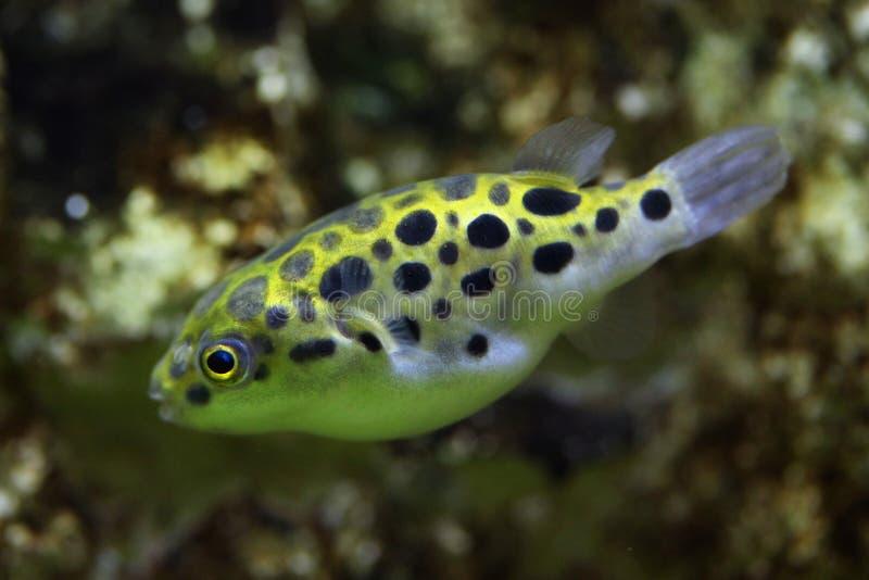 Green spotted puffer (Tetraodon nigroviridis). stock photography