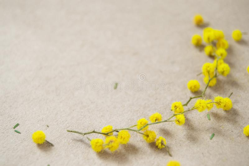 Green sprig of mimosa with yellow flowers on craft paper royalty free stock photos