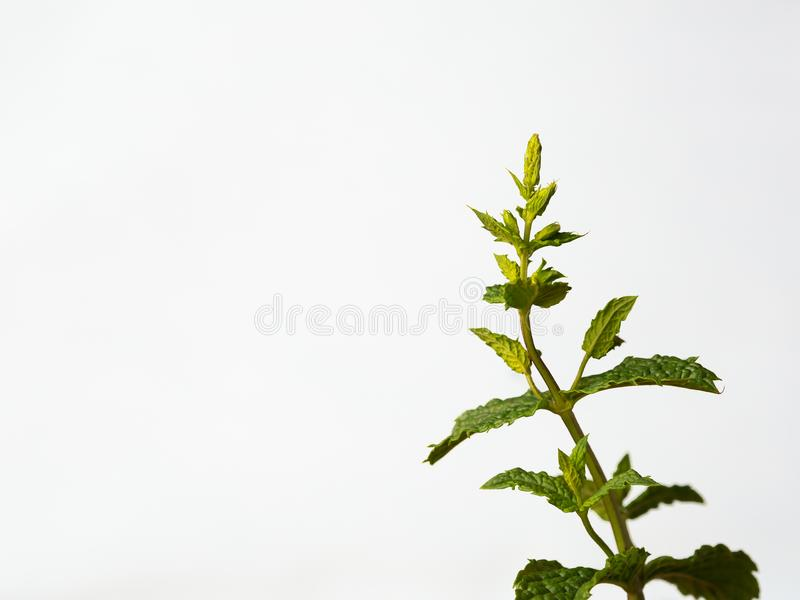 Sprig of mint against a white background royalty free stock image
