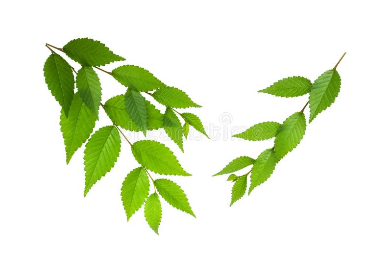 Green spring elm leaves on branch isolated on white background royalty free stock photo