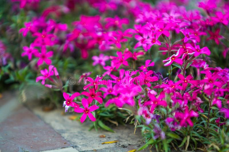 Green spring flowerbed in a garden near a footpath with a set small violet and crimson flowers. Bright background. stock photos