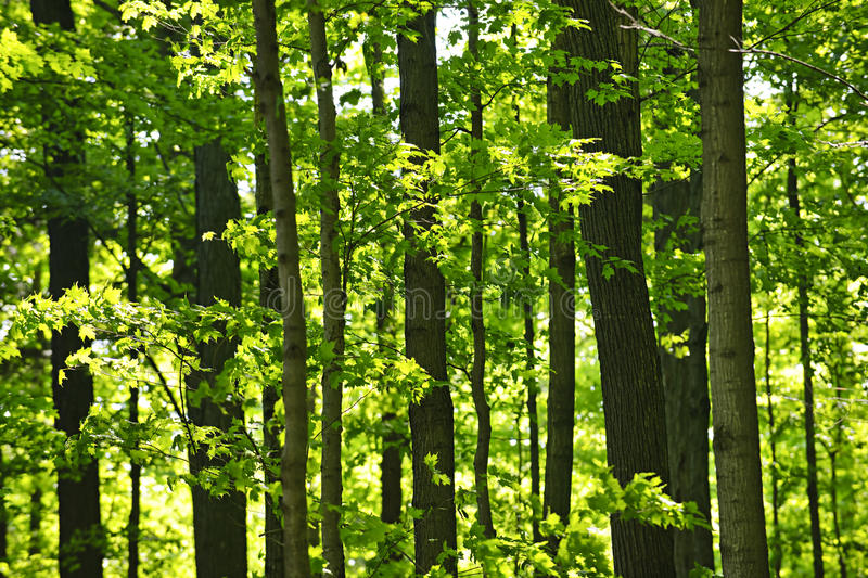 Green spring forest royalty free stock photos