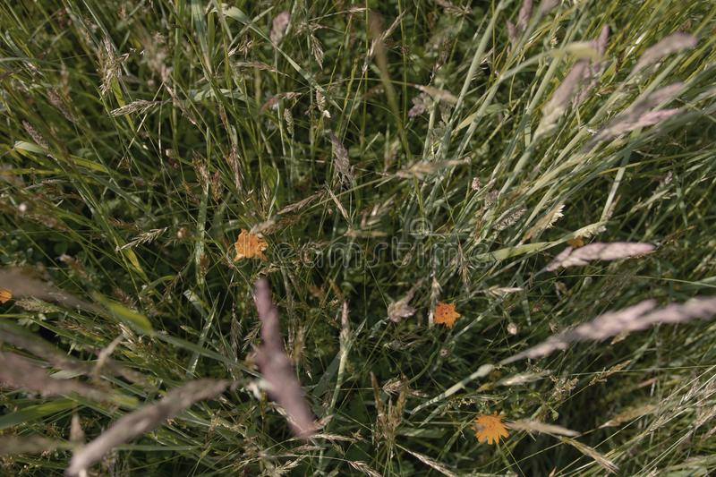 Green spring grass with yellow flowers mother-stepmother, beautiful texture royalty free stock photography