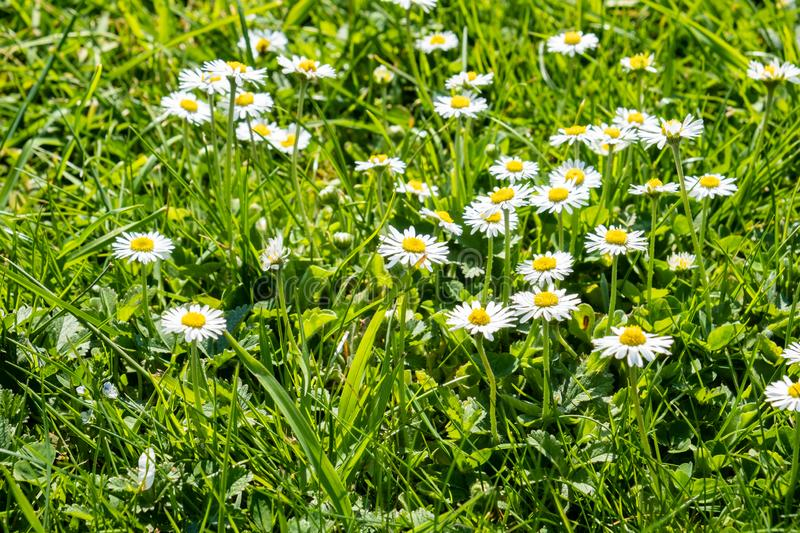 Green spring lawn with dandelion flowers and daisies stock photos
