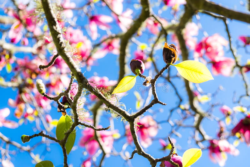 Green spring leaves on deciduous magnolia tree with pink flowers royalty free stock photography