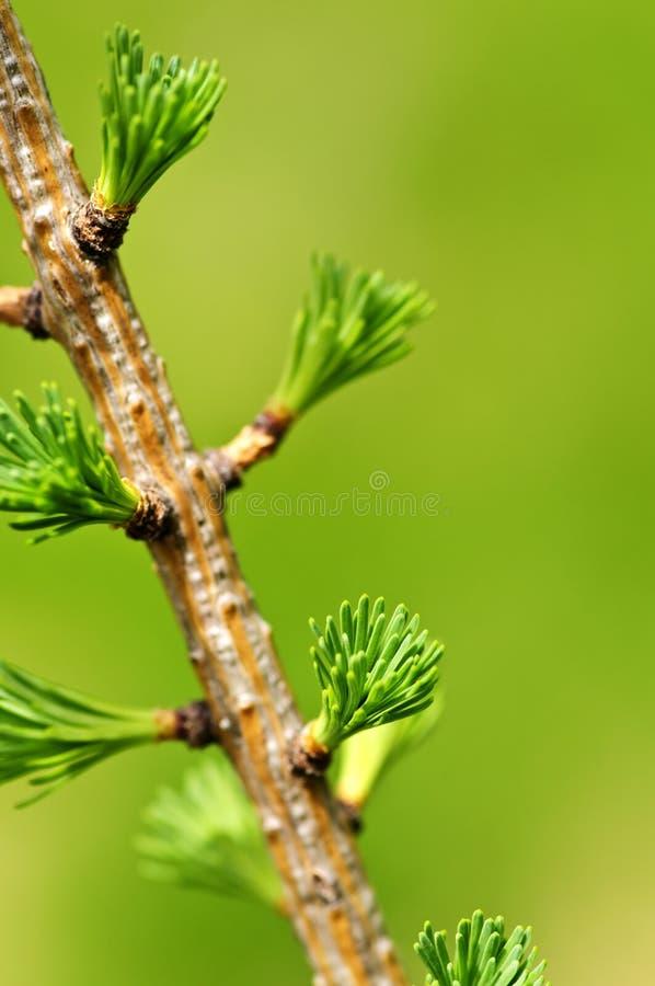 Green spring needles royalty free stock image