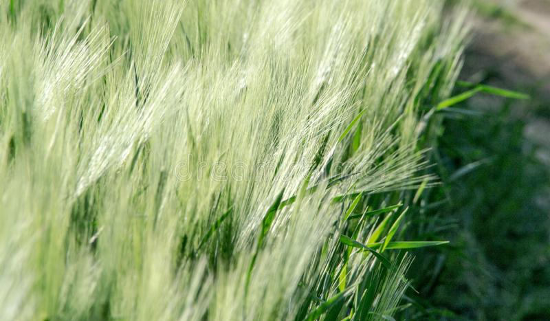 Green spring rye field abstract background stock photo
