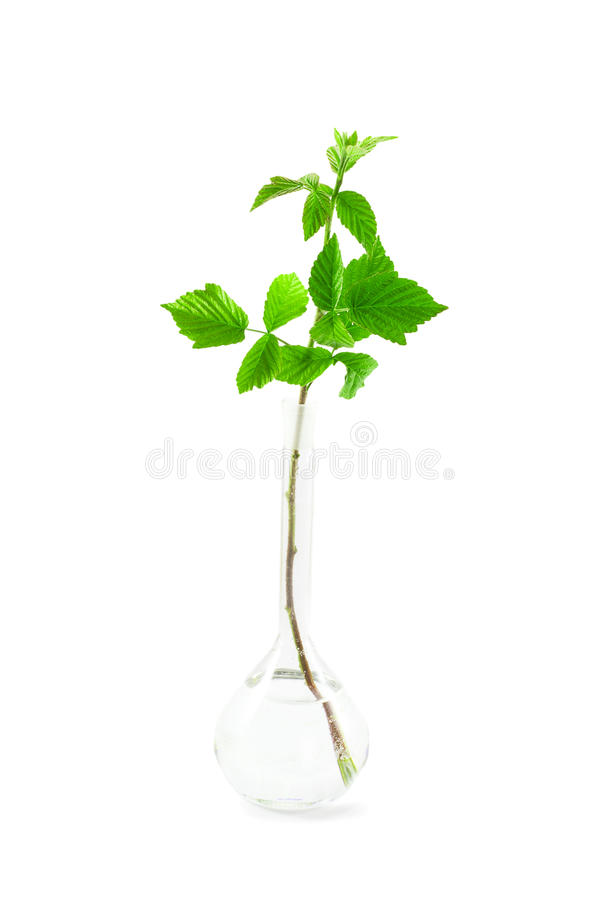 Green Sprout In A Glass Flask Royalty Free Stock Images