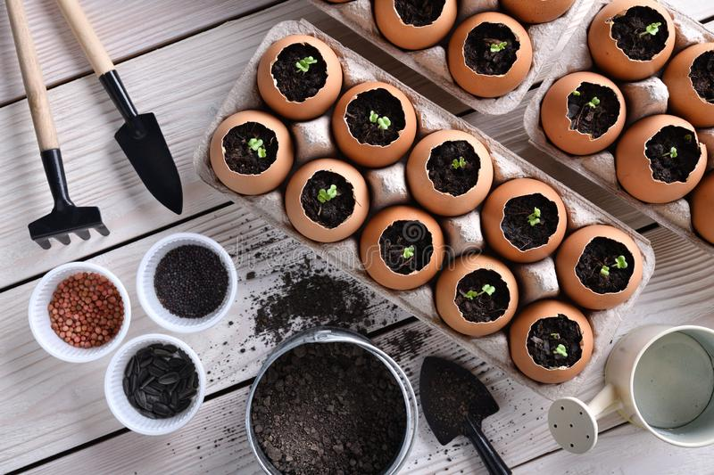 Green sprout growing out from soil in eggshells on table in the garden stock images