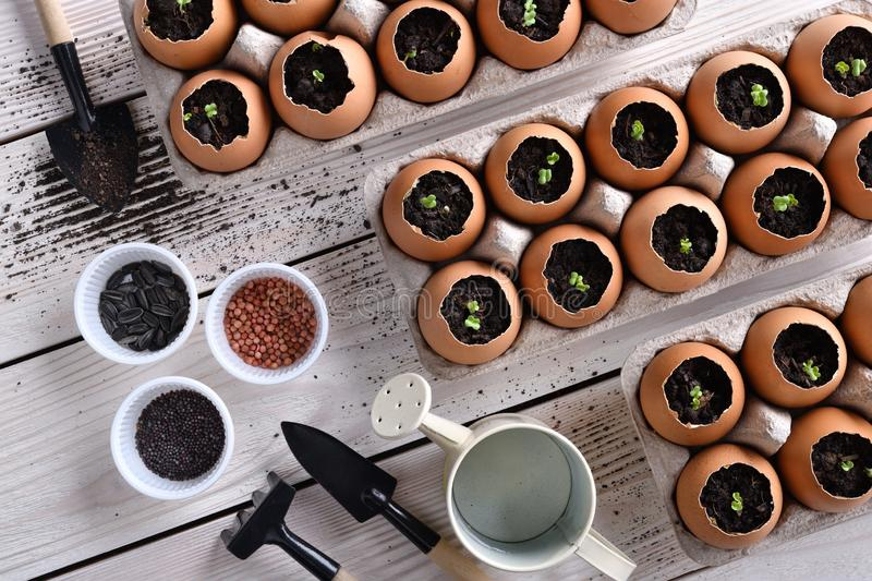 Green sprout growing out from soil in eggshells on table in the garden stock photos