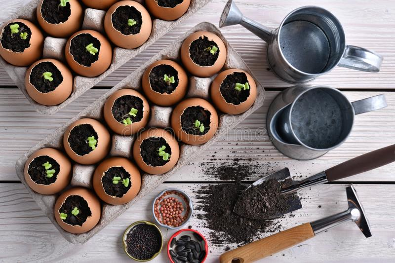 Green sprout growing out from soil in eggshells on table in the garden stock photography