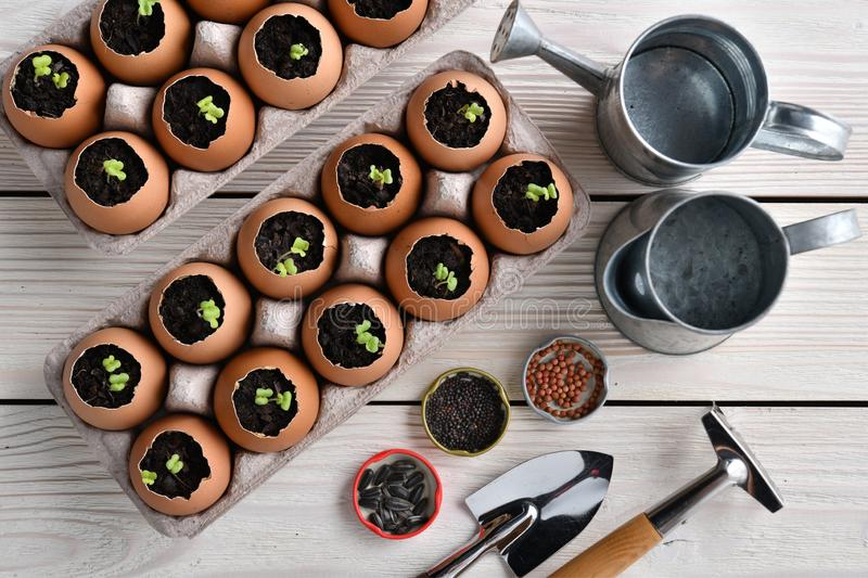 Green sprout growing out from soil in eggshells on table in the garden stock image