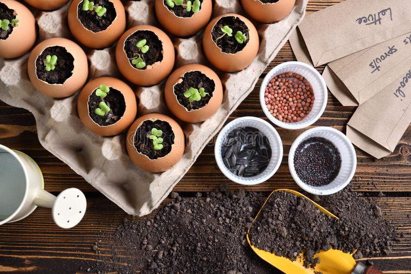 Green sprout growing out from soil in eggshells on table in the garden royalty free stock photo