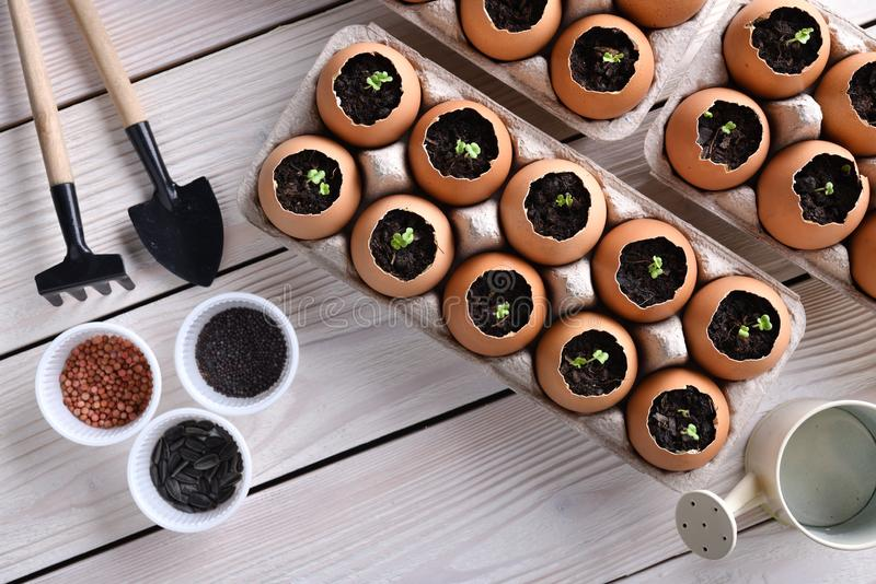 Green sprout growing out from soil in eggshells on table in the garden royalty free stock images