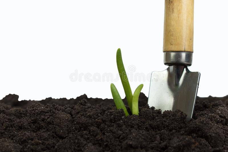 Green sprout growing out from soil isolated on white background. Gardening tools on fertile soil texture background stock image