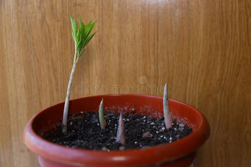 Green sprout growing out from soil. In the morning light stock photos