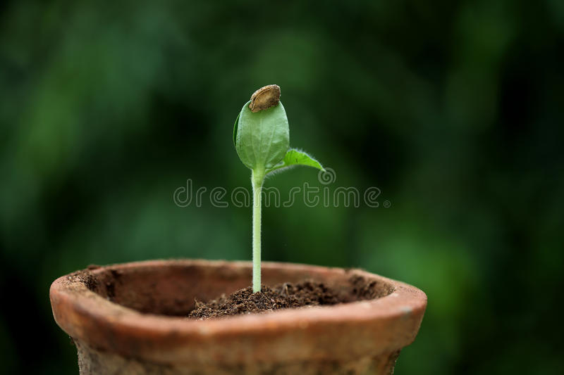 Green sprout growing from seed. Closeup of Green sprout growing from seed royalty free stock image