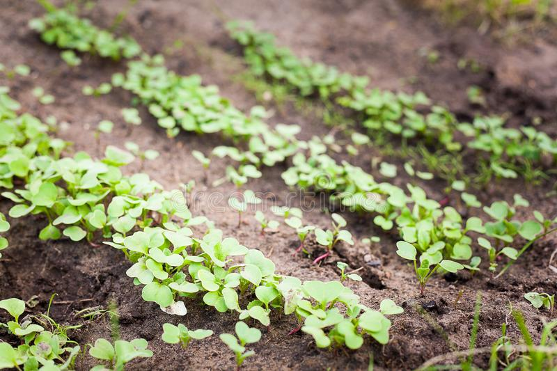 Green sprout growing from seed. New beginning spring sprouts royalty free stock image