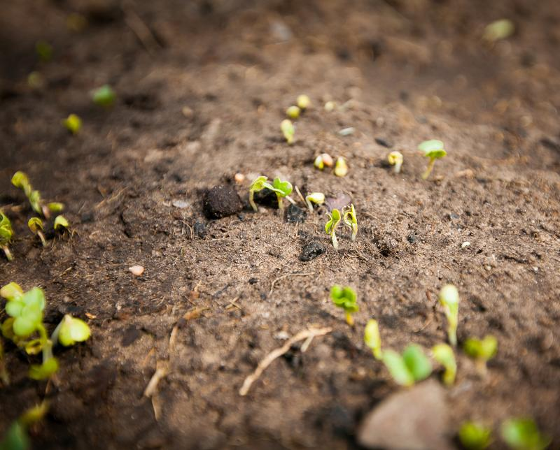 Green sprout growing from seed. New beginning spring sprouts royalty free stock images