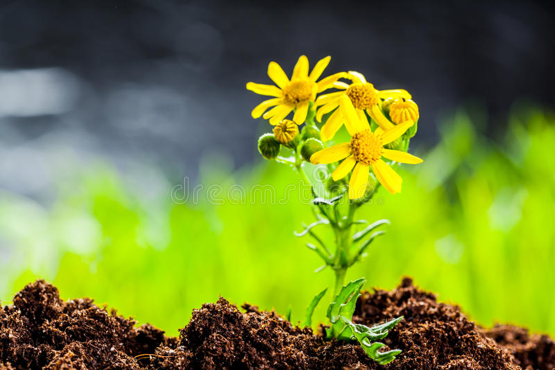 Green sprout. Growing from seed in organic soil royalty free stock photography