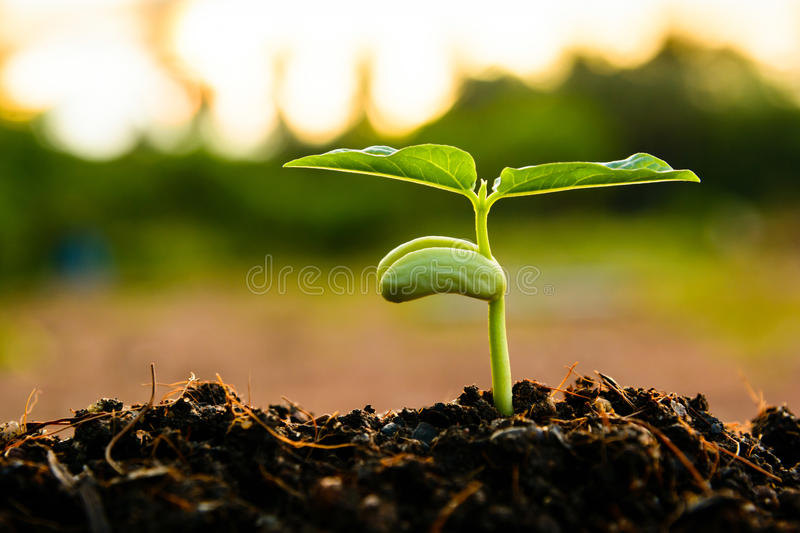 Green sprout growing from seed. At sunset stock image