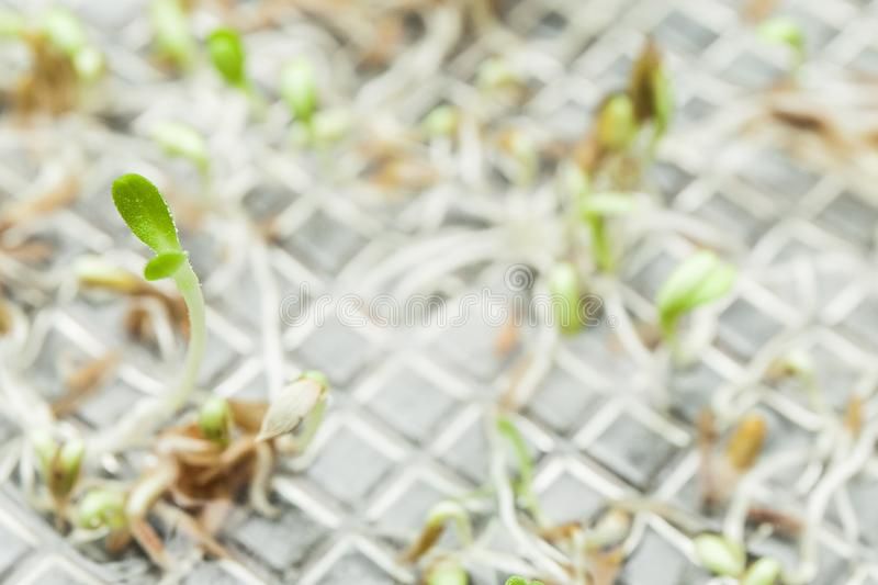 A green sprout growing from seeds. Copy space.  stock photography