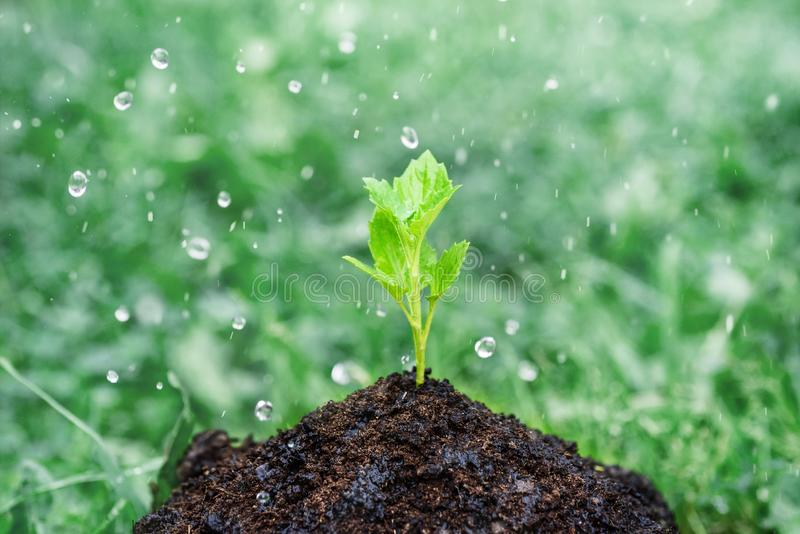 Green sprout growing from seeds and irrigating water drops.  royalty free stock photography