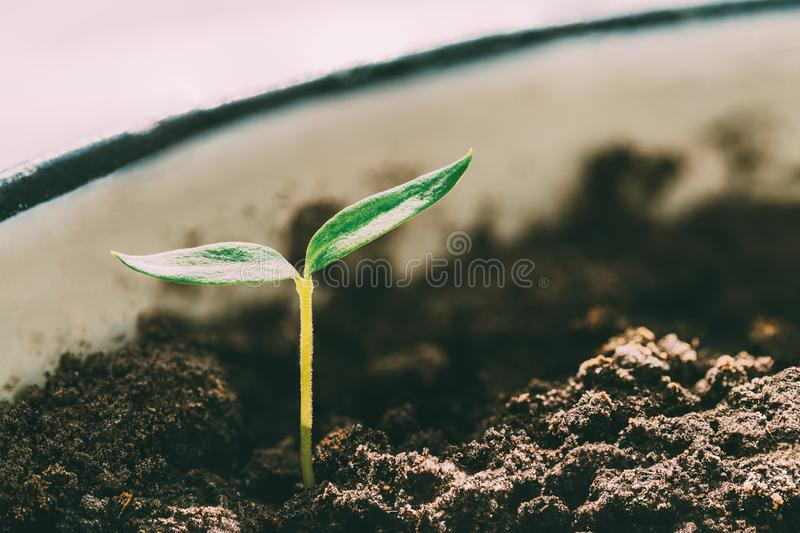 Green Sprout With Leaf, Leaves Growing. Spring, Concept Of New Life. Green Sprout With Leaf, Leaves Growing From Soil On Sunlight. Spring, Concept Of New Life royalty free stock image