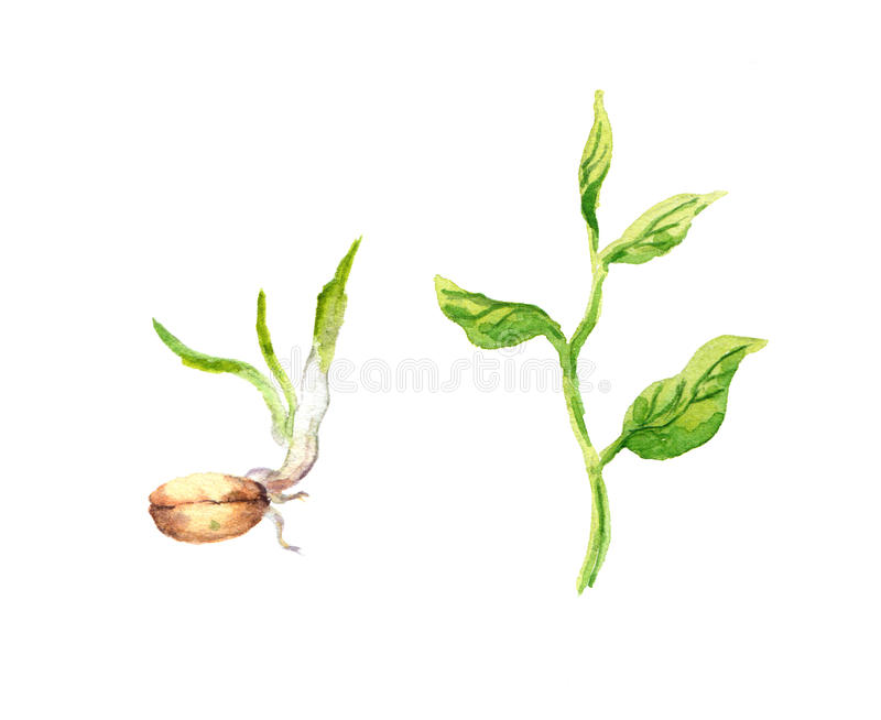 Green sprout with leaves and seed. Watercolour royalty free illustration