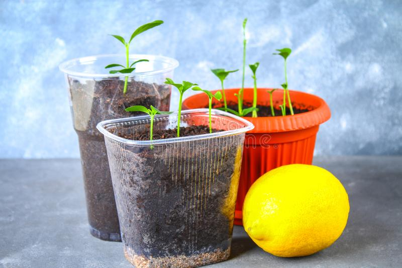 A green sprout of lemon in a pot. Seedling from the bones. Ripe lemon fruit next to a tree. stock photography