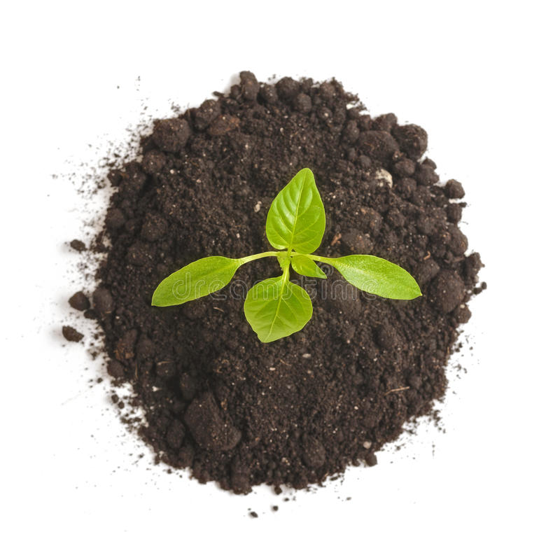 Green sprout plants growing from heap of soil, isolated on a white background. Ecology and hope royalty free stock image