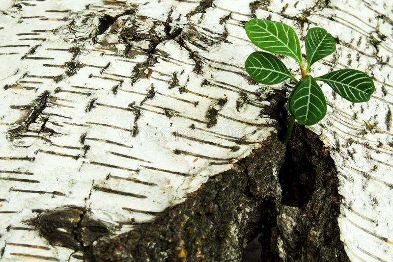 Fragile sprout breaking through rough crack in old damaged birch bark. Symbolic concept - the power of life stock photos