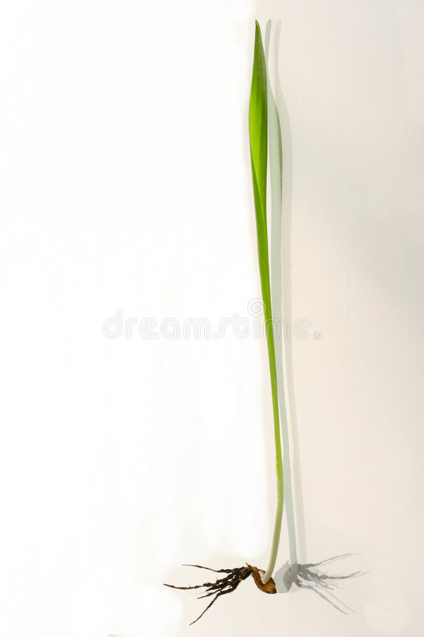 Green sprout wheats on a white stock images