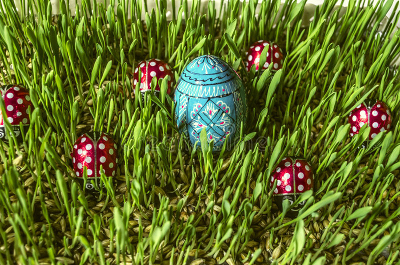 Green sprouted barley with painted blue egg and ladybirds. Sprouted barley with painted wooden blue egg and chocolate ladybirds royalty free stock photos
