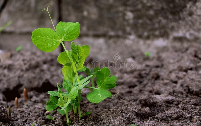 Cultivation of peas. Green sprouts. Fresh new peas in the garden. Sprouted vegetables. Green sprouted leaves and twigs of peas. Planting peas in May royalty free stock photo