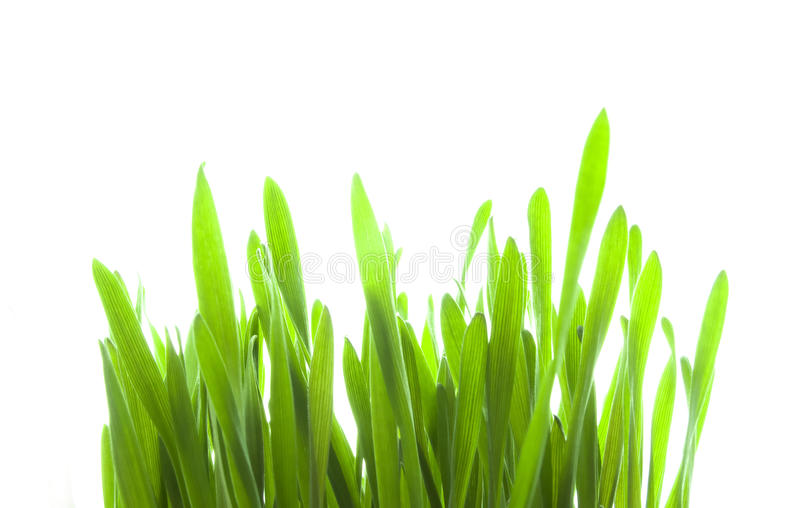 Green Sprouts royalty free stock photos