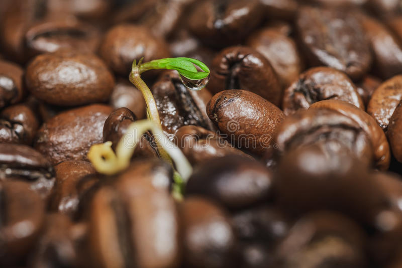 Green sprouts- coffee beans stock photo