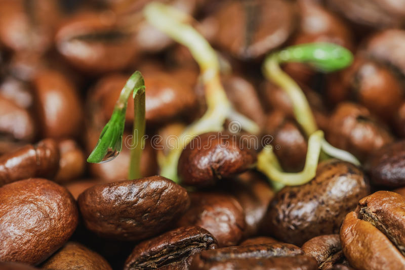 Green sprouts- coffee beans stock image