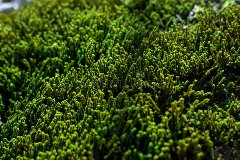 Green sprouts of moss close up on a sunny summer day, selective focus, background royalty free stock photo