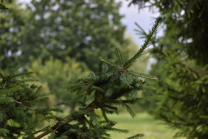 Green spruce branch. Beautiful branch of spruce with needles. Christmas tree in nature. Green spruce. stock images
