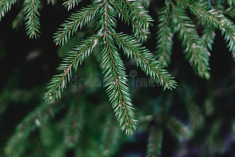 Green spruce branch in the forest close-up. Coniferous tree. The branch of a young spruce with needles stock photos