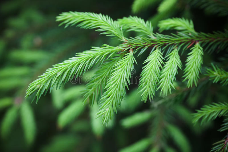 Green spruce branch, macro photo, selective focus royalty free stock photo