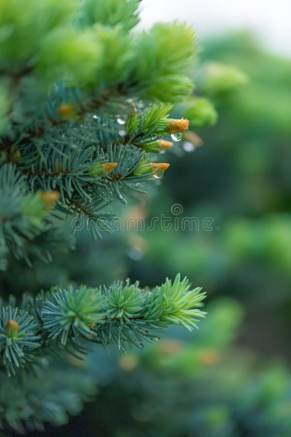 Green spruce branch in spring time in the garden. Nature blurred beautiful background. An overly shallow depth of field. stock photos