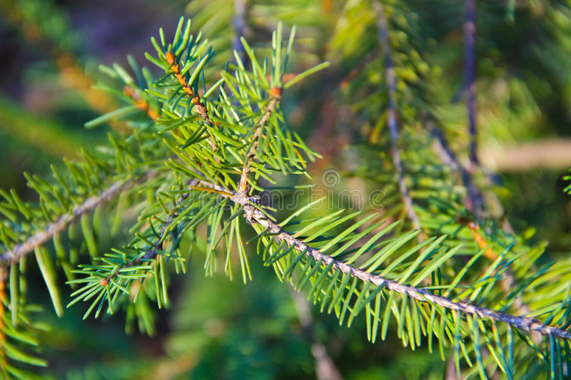 Green spruce needles on a branches. Green spruce needles on the branches royalty free stock images