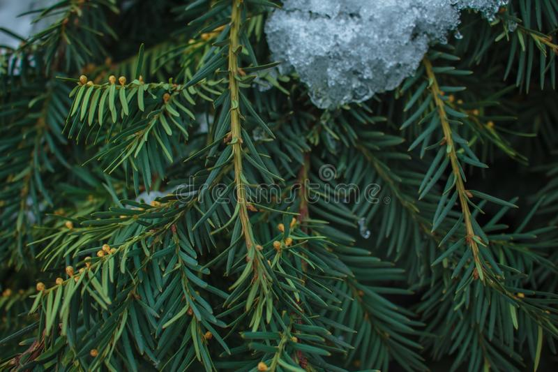 A green spruce twigs covered by snow royalty free stock image