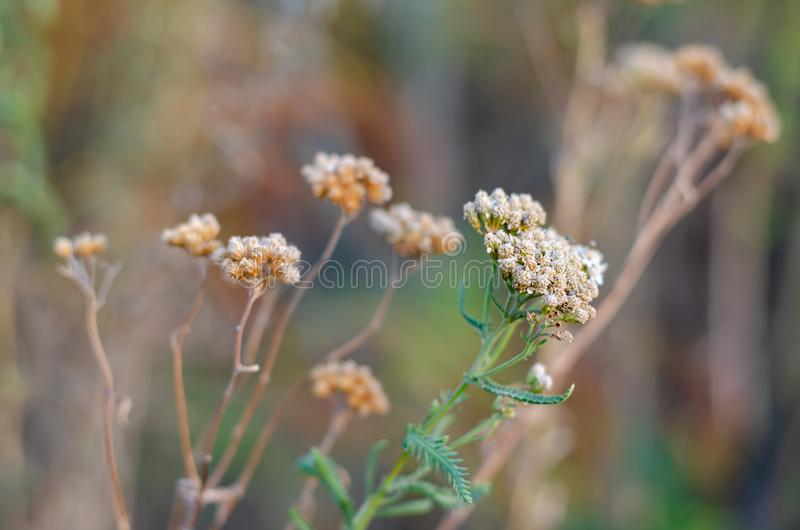 Green stalk with wilted yarrow flowers Achillea millefolium in the foreground. royalty free stock photography